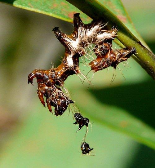 Harrisimemna-trisignata-larva by Duggiehoo