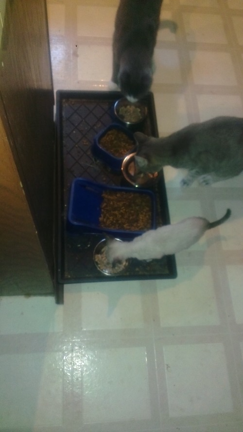 Stealing the Big Kitty Food