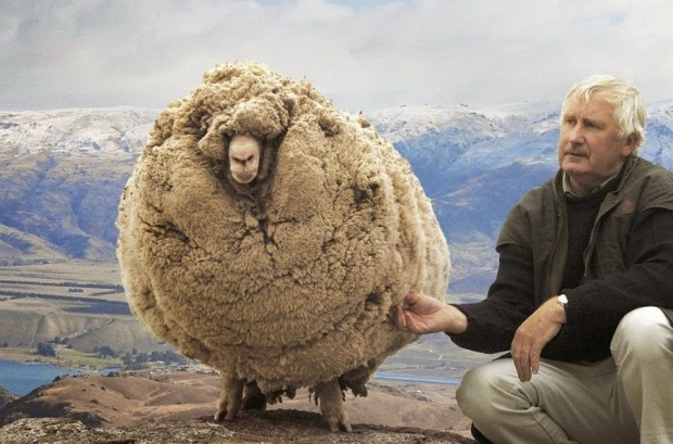 Shrek the sheep, who hid to avoid being fleeced...