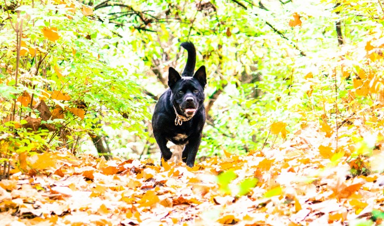 Black lab cross dog