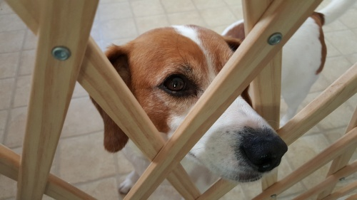 Baby Gate and Dog Wanting to Be Let Out - wslider|dollarphotoclub