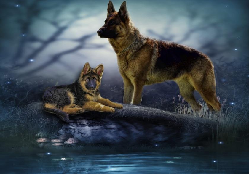 schafer-dog-2260368