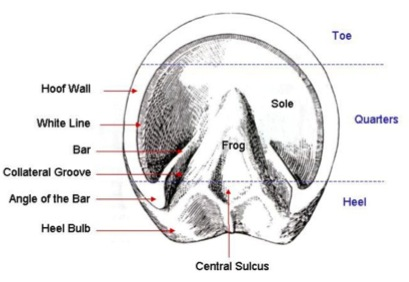horse hoof diagram